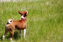 Σκυλί Basenji στο πάρκο Καθαρής φυλής πανέμορφο κόκκινο σκυλί Στοκ φωτογραφίες με δικαίωμα ελεύθερης χρήσης