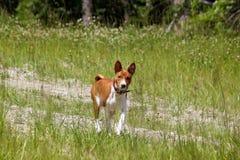 Σκυλί Basenji στο πάρκο Καθαρής φυλής πανέμορφο κόκκινο σκυλί Στοκ φωτογραφία με δικαίωμα ελεύθερης χρήσης