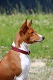 Σκυλί Basenji στο πάρκο Καθαρής φυλής πανέμορφο κόκκινο σκυλί Στοκ Εικόνα