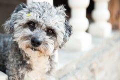 Σκυλί Bichon Στοκ εικόνα με δικαίωμα ελεύθερης χρήσης