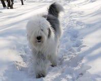 Σκυλί Bobtail πέρα από το υπόβαθρο χιονιού Στοκ φωτογραφία με δικαίωμα ελεύθερης χρήσης