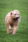 Σκυλί Briard Στοκ εικόνες με δικαίωμα ελεύθερης χρήσης