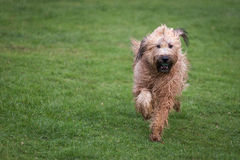Σκυλί Briard Στοκ Εικόνα