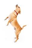 Σκυλί Chihuahua που ικετεύει για την απόλαυση Στοκ εικόνα με δικαίωμα ελεύθερης χρήσης