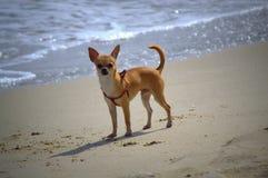 Σκυλί Chihuahua στην παραλία Στοκ φωτογραφία με δικαίωμα ελεύθερης χρήσης