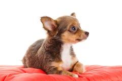 Σκυλί Chihuahua στο κόκκινο μαξιλάρι Στοκ Φωτογραφία