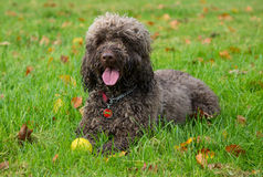 Σκυλί Cockapoo Στοκ Φωτογραφίες