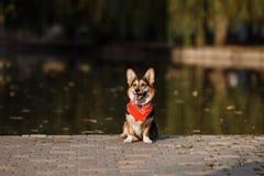 Σκυλί Corgi στη λίμνη Στοκ Εικόνες