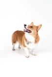 Σκυλί Corgi Στοκ φωτογραφία με δικαίωμα ελεύθερης χρήσης