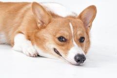 Σκυλί Corgi Στοκ φωτογραφίες με δικαίωμα ελεύθερης χρήσης