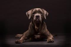 Σκυλί corso καλάμων Στοκ φωτογραφίες με δικαίωμα ελεύθερης χρήσης