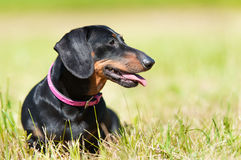 Σκυλί Dachshund στο πάρκο Στοκ φωτογραφία με δικαίωμα ελεύθερης χρήσης
