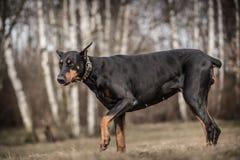 Σκυλί Doberman στοκ φωτογραφία με δικαίωμα ελεύθερης χρήσης