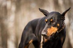 Σκυλί Doberman στοκ φωτογραφίες