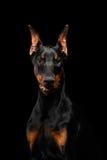 Σκυλί Doberman Pinscher κινηματογραφήσεων σε πρώτο πλάνο που φαίνεται κεκλεισμένων των θυρών στον απομονωμένο Μαύρο Στοκ φωτογραφία με δικαίωμα ελεύθερης χρήσης