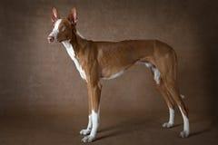 Σκυλί ibicenco Podenco ενός έτους βρεφών στο καφετί κλίμα Στοκ Εικόνες