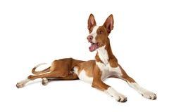 Σκυλί ibicenco Podenco πέρα από το λευκό Στοκ Εικόνες