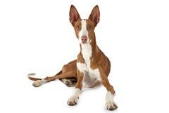 Σκυλί ibicenco Podenco που απομονώνεται στο λευκό Στοκ Εικόνα