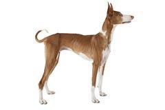 Σκυλί ibicenco Podenco Στοκ φωτογραφία με δικαίωμα ελεύθερης χρήσης