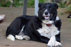 Σκυλί Kelpie κόλλεϊ συνόρων Στοκ Φωτογραφίες