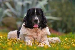 Σκυλί Landseer Στοκ Φωτογραφίες