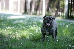 Σκυλί Mop έτοιμο να παίξει Στοκ Εικόνες