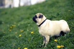 Σκυλί Mop που περιμένει το mom της Στοκ Εικόνες