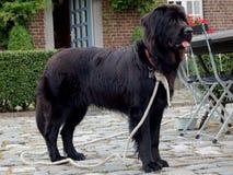 Σκυλί Newfoundlander Στοκ φωτογραφία με δικαίωμα ελεύθερης χρήσης