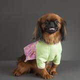 σκυλί pekingese στοκ εικόνες