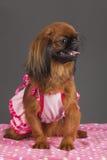 σκυλί pekingese Στοκ Φωτογραφία