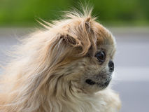 σκυλί pekingese Στοκ Εικόνα