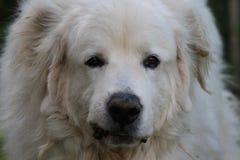 Σκυλί Perenyeen Στοκ φωτογραφία με δικαίωμα ελεύθερης χρήσης