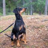 Σκυλί Pinscher Στοκ Φωτογραφία