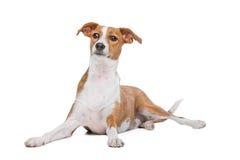 Σκυλί Podenco μιγμάτων Στοκ Φωτογραφία