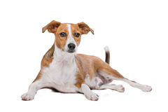 Σκυλί Podenco μιγμάτων Στοκ φωτογραφία με δικαίωμα ελεύθερης χρήσης