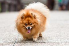 Σκυλί Pomeranian που περπατά στο συγκεκριμένο δρόμο στον κήπο Στοκ Εικόνες