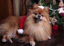 Σκυλί Pomeranian σε ένα καπέλο της συνεδρίασης Άγιου Βασίλη κάτω από το Χριστό Στοκ φωτογραφία με δικαίωμα ελεύθερης χρήσης