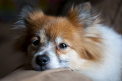 σκυλί pomeranian Στοκ φωτογραφία με δικαίωμα ελεύθερης χρήσης
