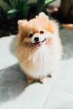 σκυλί pomeranian Στοκ φωτογραφίες με δικαίωμα ελεύθερης χρήσης