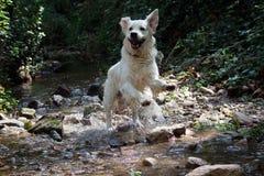 Σκυλί retiever Στοκ Εικόνα