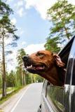 Σκυλί Ridgeback που απολαμβάνει το γύρο στο αυτοκίνητο που κοιτάζει από το παράθυρο Στοκ Εικόνες