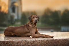 Σκυλί Ridgeback Rhodesian στον τοίχο στοκ φωτογραφίες