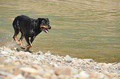 Σκυλί Rottweiler βιασύνης Στοκ Εικόνες