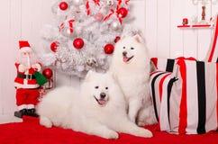 Σκυλί Samoyed κοντά στη διακόσμηση Χριστουγέννων χνουδωτό λευκό σκυλιών Στοκ Εικόνα
