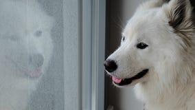 Σκυλί Samoyed που κοιτάζει μέσω ενός παραθύρου στοκ εικόνες με δικαίωμα ελεύθερης χρήσης