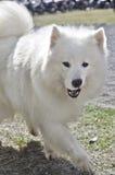 Σκυλί Samoyed Στοκ Φωτογραφίες