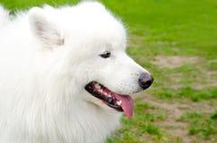 Σκυλί Samoyed Στοκ φωτογραφία με δικαίωμα ελεύθερης χρήσης