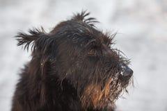 Σκυλί schnauzer στο φρέσκο χιόνι στοκ φωτογραφίες