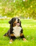 Σκυλί Sennenhund Berner που βρίσκεται στη χλόη στοκ εικόνες με δικαίωμα ελεύθερης χρήσης