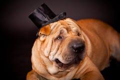 Σκυλί Sharpei που προσέχει stovepipe στοκ εικόνες με δικαίωμα ελεύθερης χρήσης